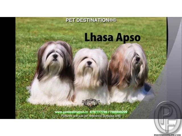 Shihtzu Pups Available Only With Pet Destination 917666666299 In