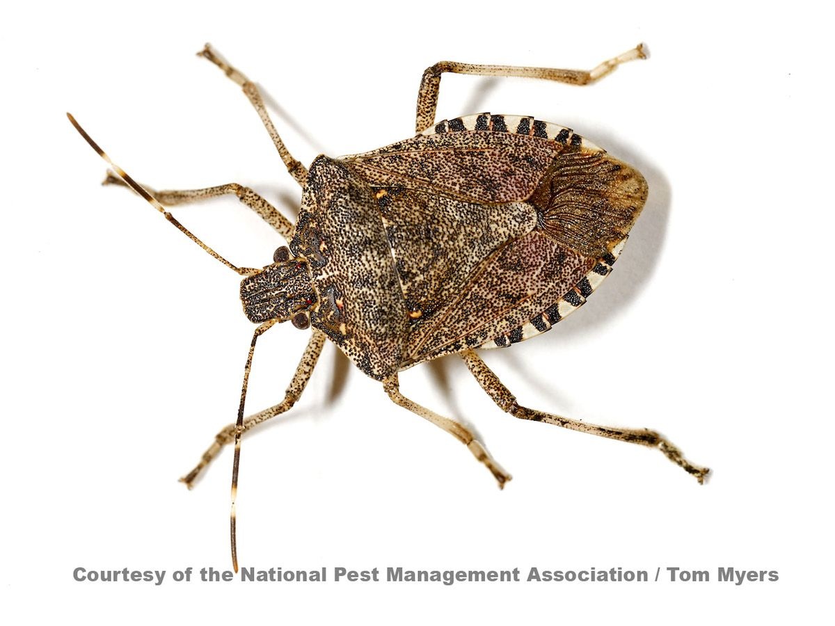 Diatomaceous Earth: How To Eliminate Stink Bugs | Stink Bugs ...