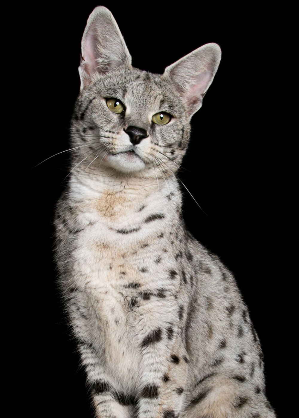 White Cats are Like Colors In Milan Fresh Savannah Cat