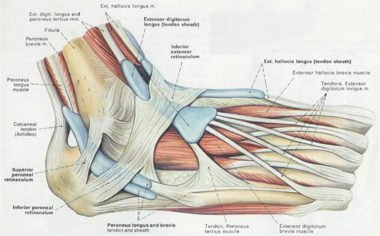 Image result for muscle of foot and ankle | peroneal nerve ...