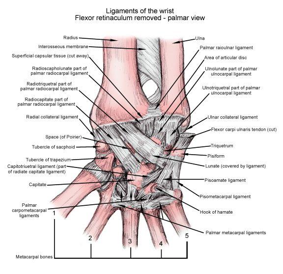 Palmar View Of Wrist Ligaments Ot In Outpatient Ue Pinterest