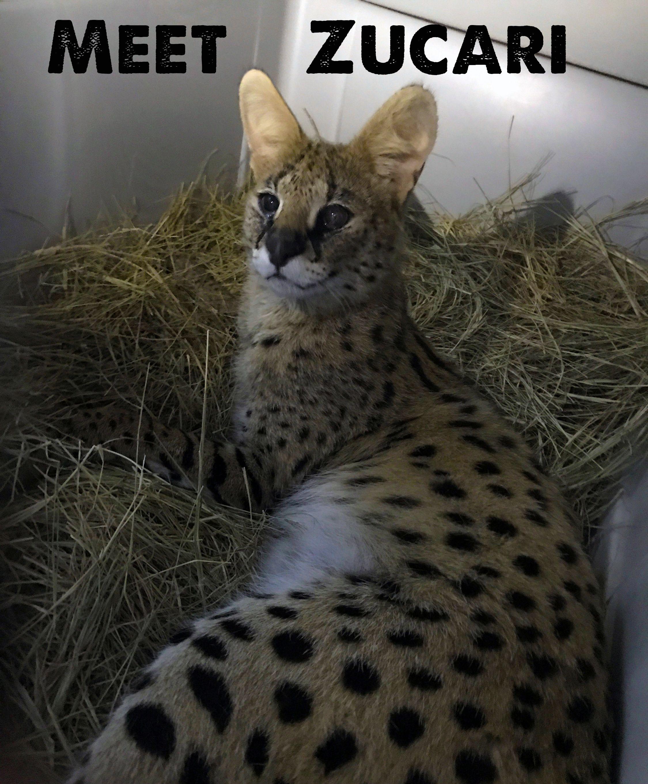 Bcrsalsa big cat rescue big cat rescue cats serval cats