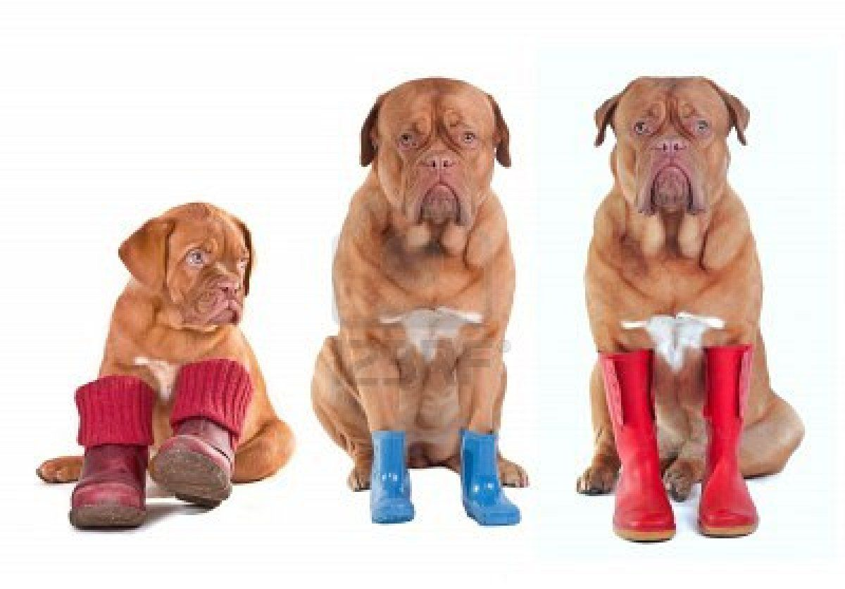 Different Ages Of Dogue De Bordeaux French Mastiff Dogs With
