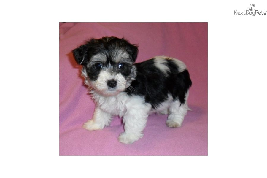 Yorkiepoo Yorkie Poo Puppy For Sale Near Akron Canton Ohio D45b4343 6c81 Yorkie Poo Yorkshire Terrier Puppies Yorkie Poo Puppies