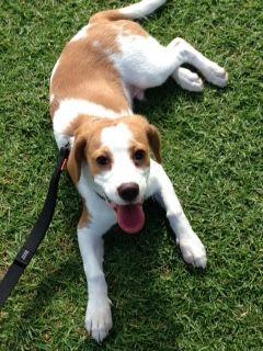 Buddy Beaglier Pawshake Success Dogs Pet Parent Buddy