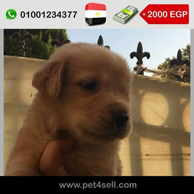 Egypt Giza Golden Retrievers Pure Puppies For Sale 40 Days