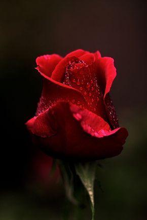 Rosa Roja Flores Bonitas Flores De Amor Rosas Bonitas