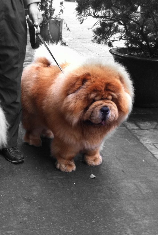 Chowchow And The Best Dog In The