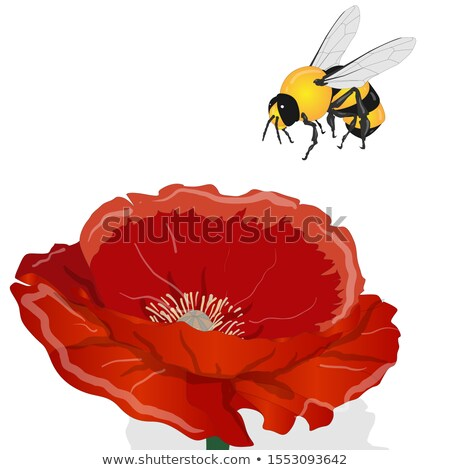 Bright red poppy flower and bee isolated on white. Vector