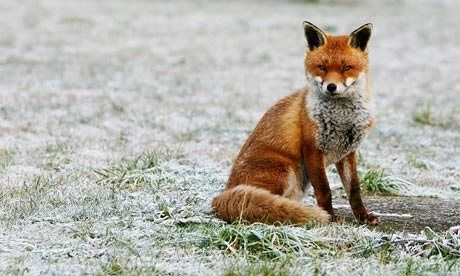 Q: Foxes are digging holes all over my garden, and the smell and noise they make is awful. What can I do to get rid of them?