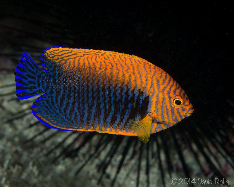 Centropyge Potteri Beautiful Tropical Fish Marine Fish Underwater Fish