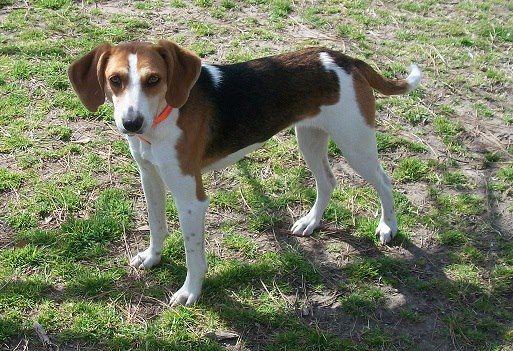 Long Legged Beagle Mix Photo By Michelle Moyers Beagle Mix Fur