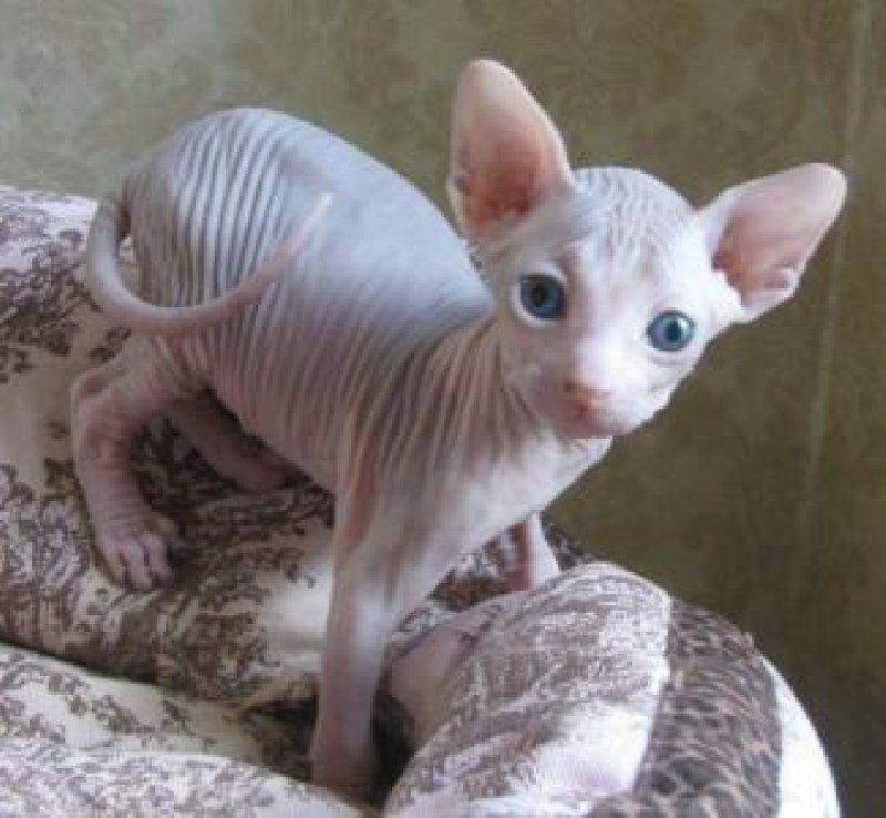 Cute Cat Breeds Hairless Sphynx Cat Cat Breeds Sphynx Cat Hairless Cat