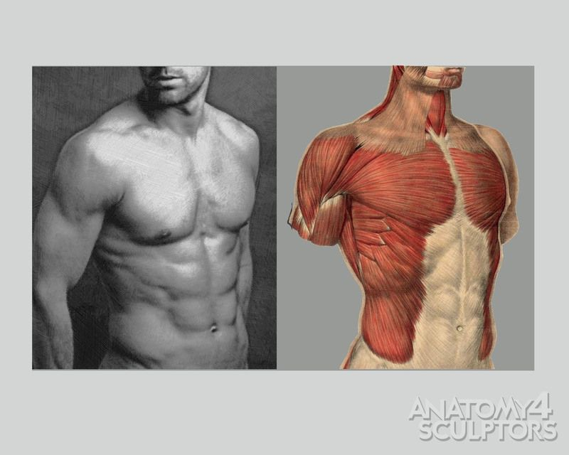 Muscles And Shapes Of Torso Anatomy For Sculpt Pinterest