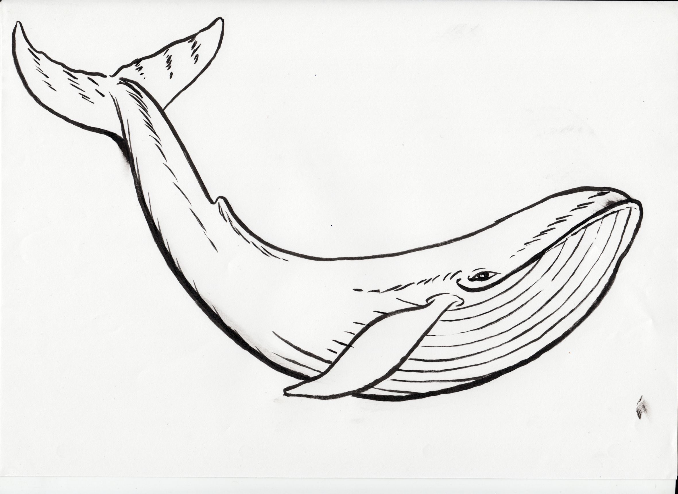 Humpback Whale Black Clipart Humpback Whale Coloring Page In ...