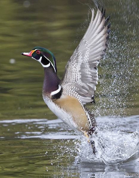 Wood duck, lifting off by Lee Greengrass