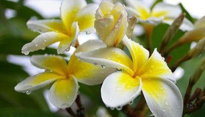 Gambar Bunga Melati Dan Bagian Bagianya Gambar Terbaru Hd