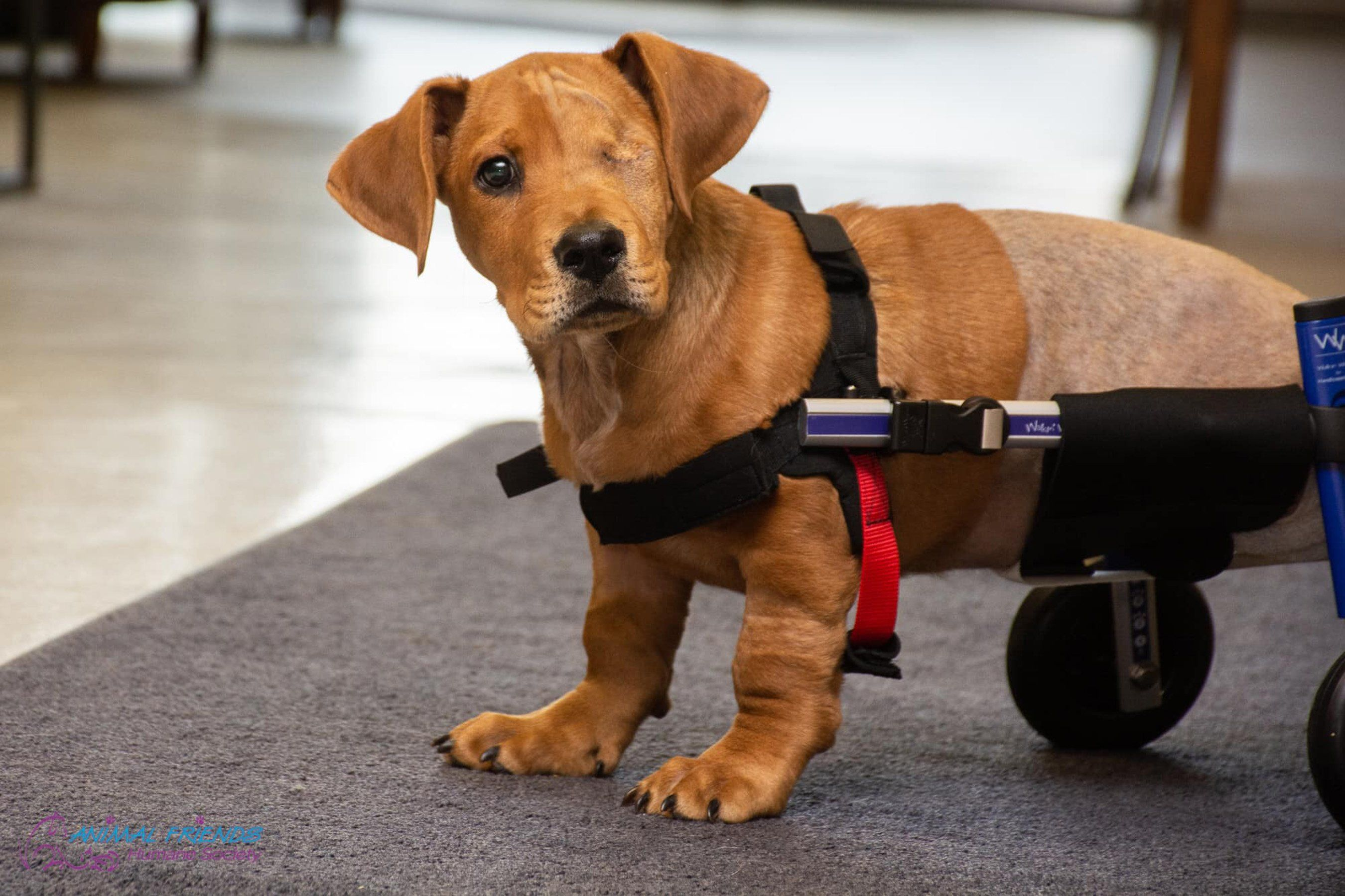 Puppy Who Lost An Eye And 2 Legs After Getting Hit By Train Finds Loving Forever Home Puppies Little Puppies
