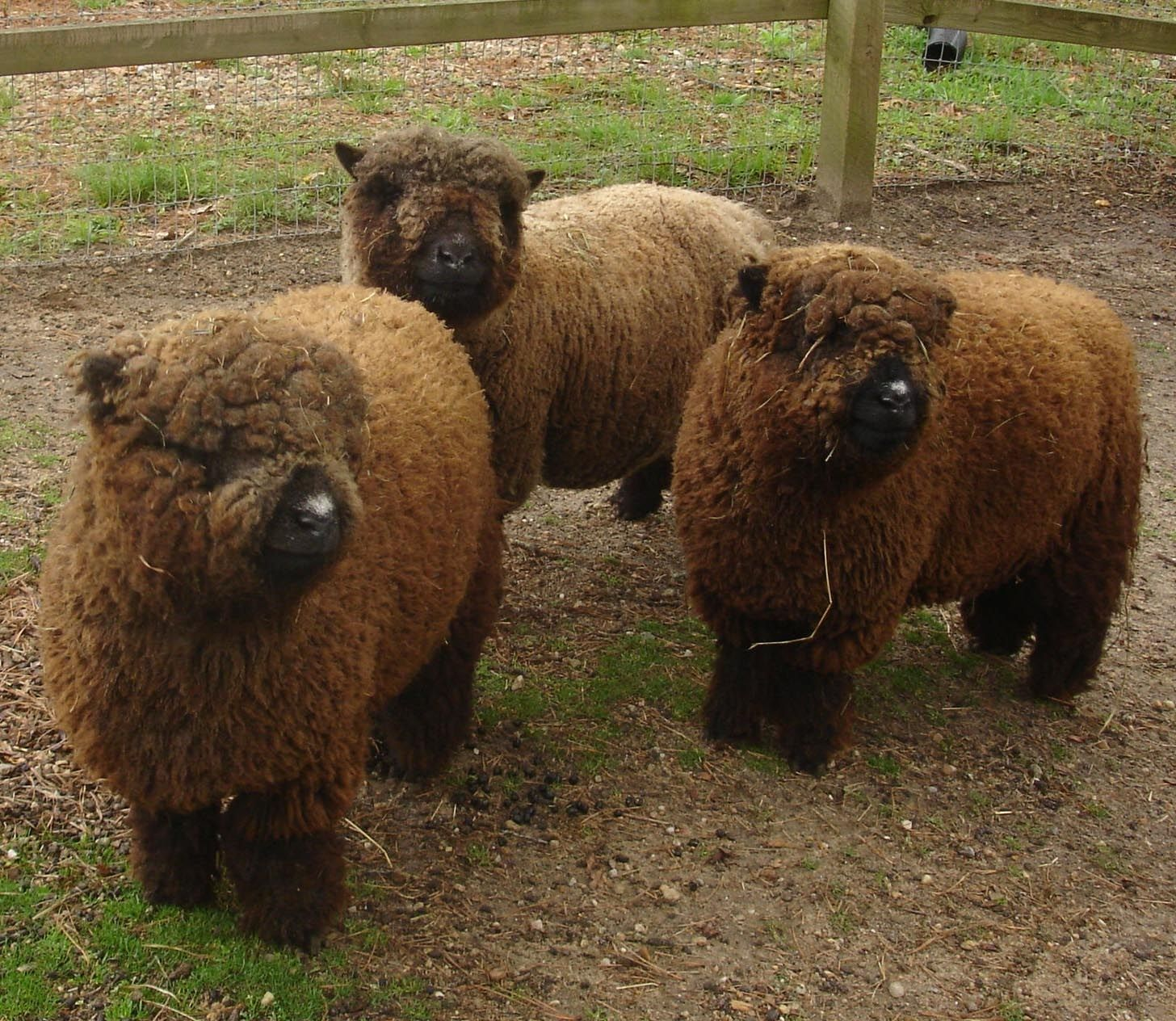 brown sheep - They look like fluffy stuffed animals ...