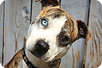 Australian Shepherd Pitbull Mix Super Cute Dogs Pitbull Mix