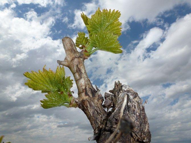 Los viñedos comienzan a brotar en Viñedos Valdemar y en toda La Rioja.¡Ha llegado la primavera!