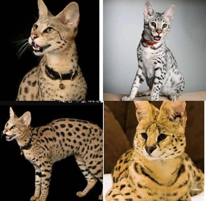 Savannah kittens f1f5 Savannah kitten, Kittens