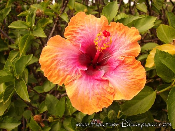 There Are Hearty Hibiscus Perrenials Garden Of Color