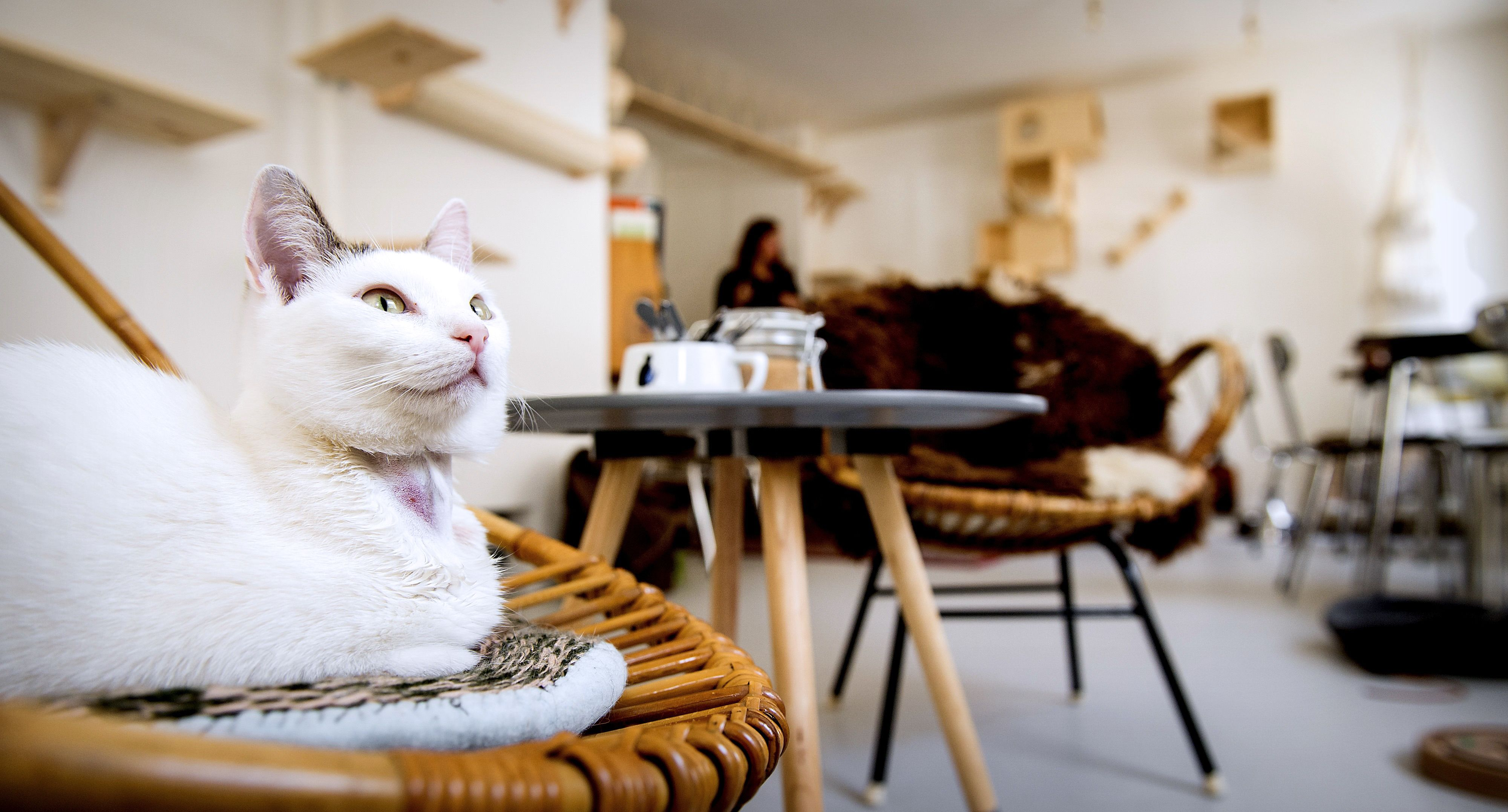 Seekor kucing duduk di atas kursi di kedai kopi bertema