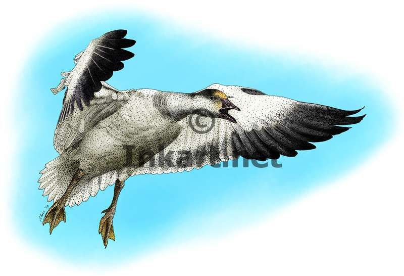 Full color illustration of a Snow Goose (Chen caerulescens)