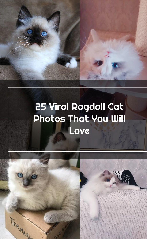 Ragdoll Cat Ragdollkittens Catandkittens In 2020 Ragdoll Cat Ragdoll Kitten Cats