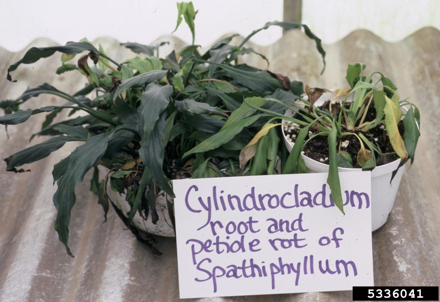 Drooping Peace Lily Plants Tips On How To Revive A