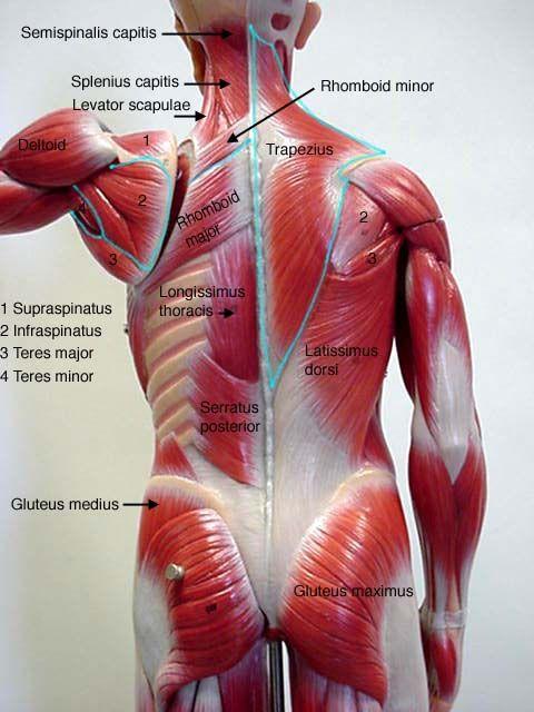 Back muscles | anatomia | Pinterest | Anatomía, Músculos y Masaje