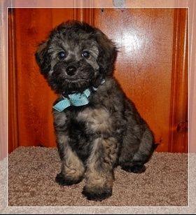 Mini Poodle Pekepoo Puppies For Sale In Ga Mini Poodles