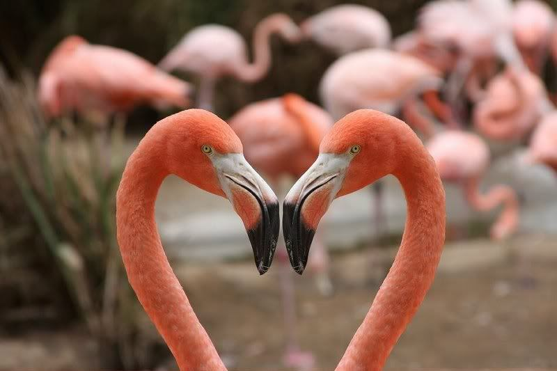 Pin By Corinne Schwarz Kirkendall On Lots Of 3 Flamingo Heart In Nature Pet Birds
