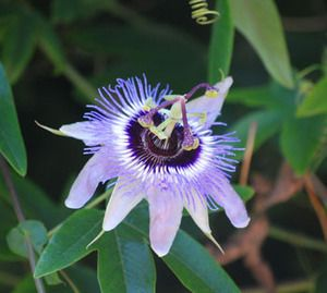 Blue Passion Flower Would Like To Plant Several Different Colored Passion Flowers To Grow Up Together Blue Passion Flower Passion Flower Passiflora Caerulea