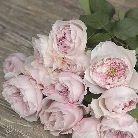 P Scented Rose Rosalind David Austin 45cm Is A Beautiful Pink