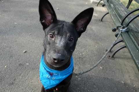 SAFE❤️❤️ 9/9/16 Manhattan Center JACK – A1087541 ***SAFER : EXPERIENCED HOME*** MALE, BLACK / BROWN, GERM SHEPHERD / LABRADOR RETR, 9 mos OWNER SUR – AVAILABLE, NO HOLD Reason MOVE2PRIVA Intake condition UNSPECIFIE Intake Date 08/27/2016, From NY 10465, DueOut Date 08/27/2016