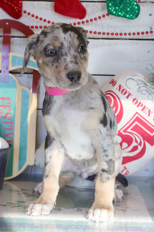 Adopt Panya 9039 on Petfinder Catahoula leopard dog