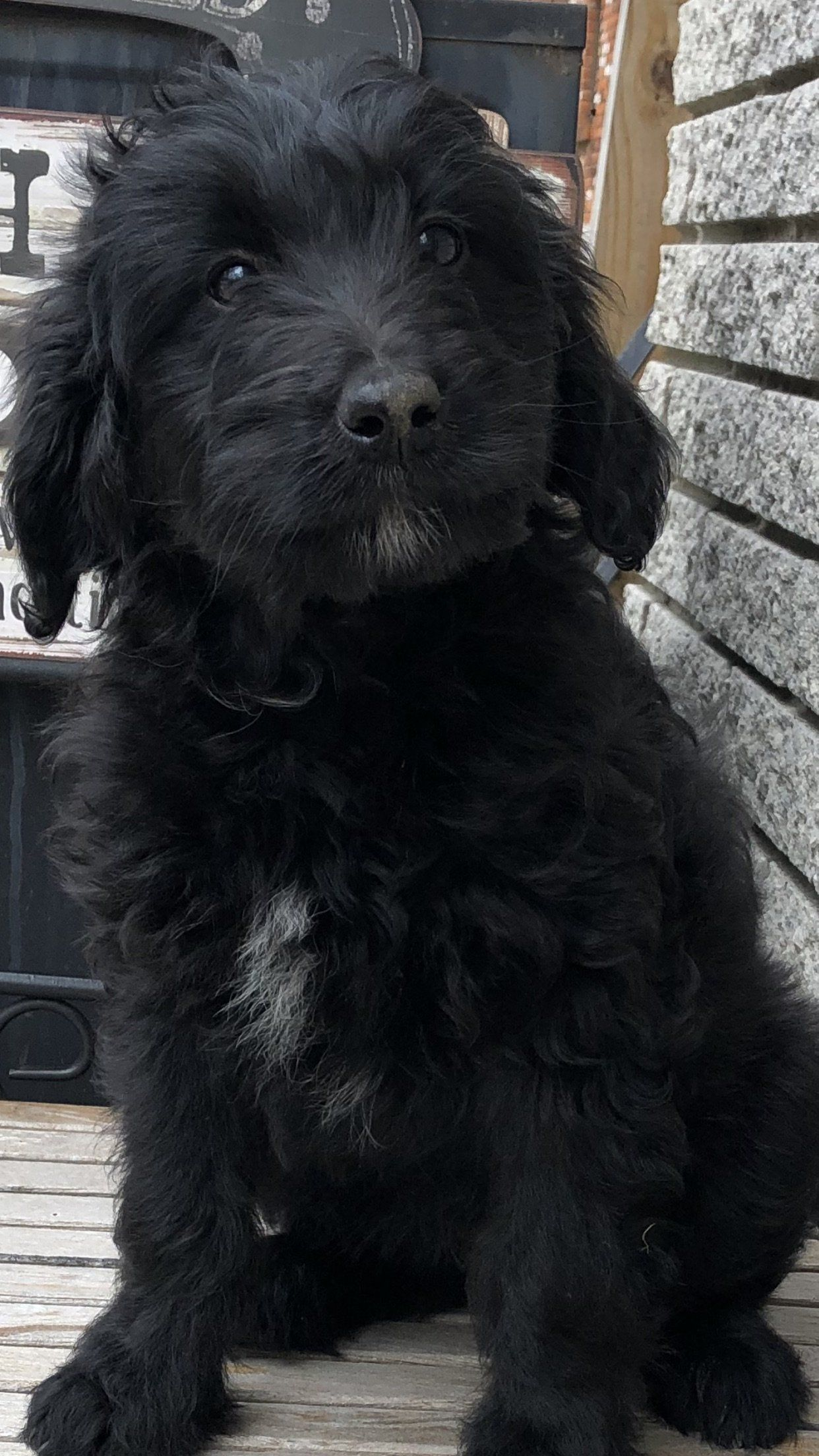 Abby Female F1b Mini Bernedoodle for sale in Michigan