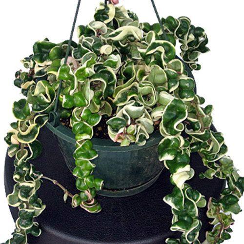 Hoya Rope -Hoya Compacta- Wax Plant CUTTINGS …