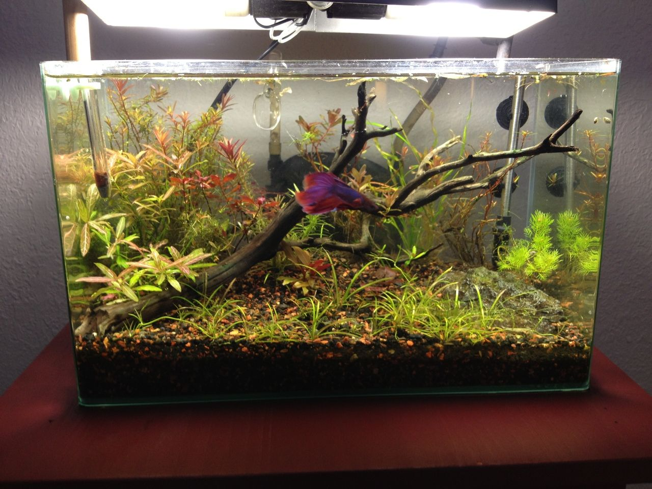 6 Gallon, Low Tech Betta Tank- Beautiful tank, includes a link on page