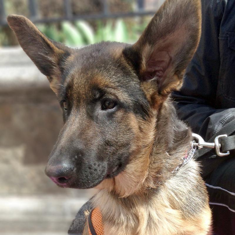 Adopt Ravioli On Dogs German Shepherd Dogs Dog Adoption