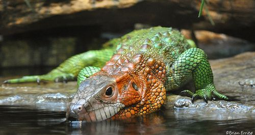 Https Www Google Ch Blank Html Caiman Lizard Caiman Lizard