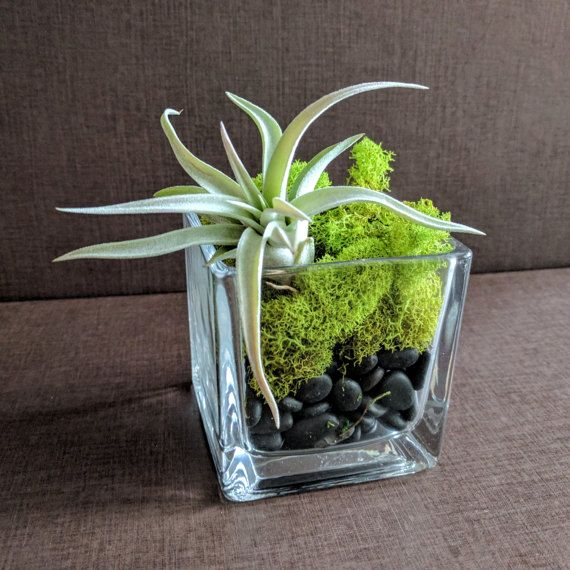 Air Plant Square Glass Vase Terrarium With Green Reindeer Moss And