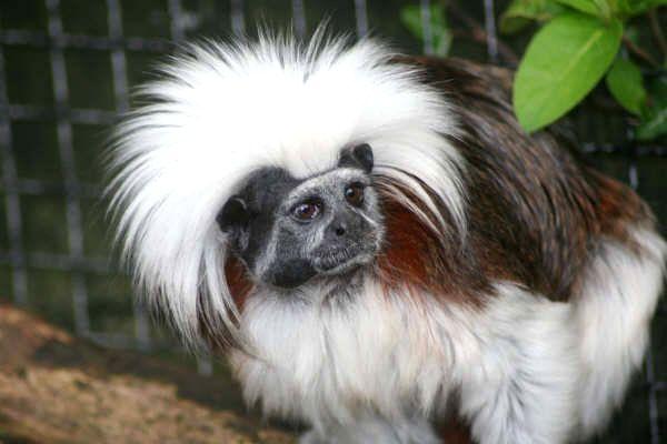 Cottontop Tamarin Cottontop Tamarin Zoo Animals Animals
