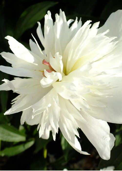 Festiva Maxima Double Peony - Perfection by Cindy Treger