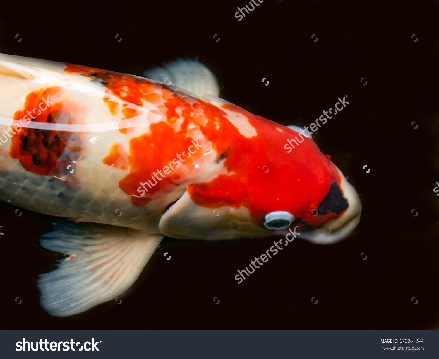 Close up of beautiful fish called Koi fish or Carp fish swimming in ...