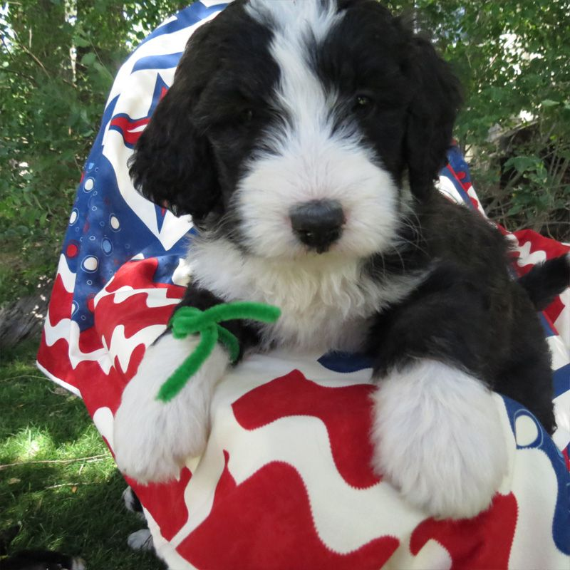 Bernedoodle Puppy Bernedoodle Puppy Puppies Animals