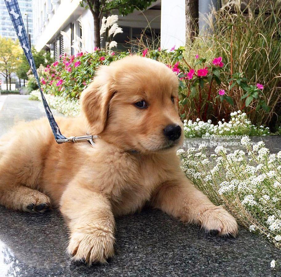 Black Lab Puppies For Sale In Nc Cute Baby Animals Labrador
