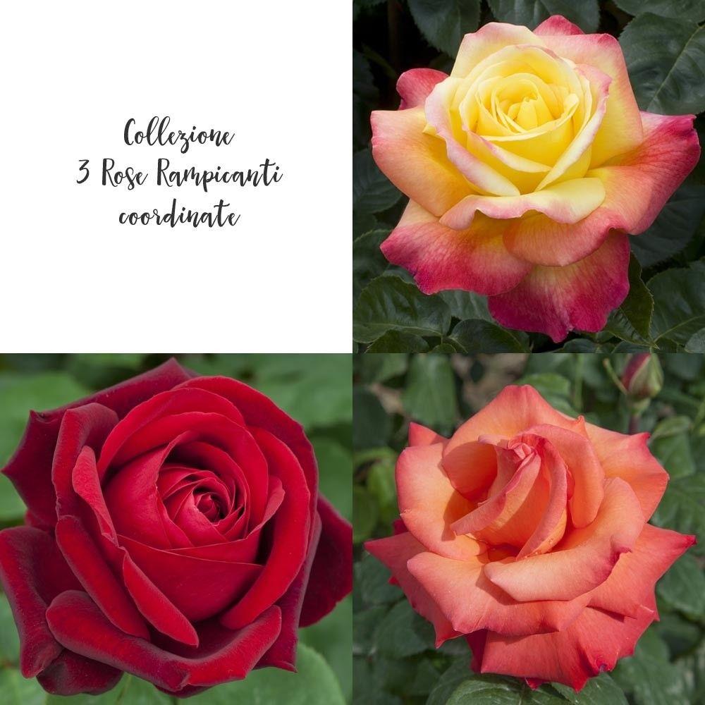 Piante Da Frutto Nane vendita online collezione 3 rose rampicante nane. collezione